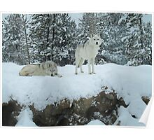 Wolves in snow Poster