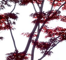 Japanese maple with red leaves by intensivelight
