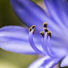 Purple Pollen Closeup #2 by axemangraphics