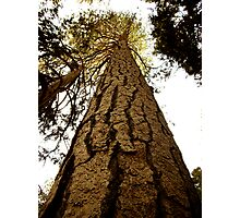 Ponderosa Pine Photographic Print