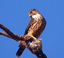 Sharp-shinned Hawk with Cedar Waxwing by Krissa Klein
