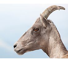 Profile portrait of bighorn sheep Photographic Print