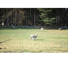 Cairngorm Sheep Photographic Print