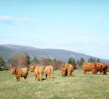 Highland Cows by brando87