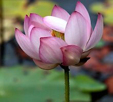 Lotus Ready To open by NatureGreeting Cards ©ccwri