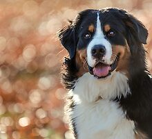 A Bernese Mountain Dog enjoys Iowa by TheJill