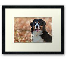 A Bernese Mountain Dog enjoys Iowa Framed Print