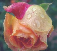 Rose with rain drops  by Karen  Betts