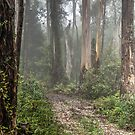 Walk In The Forrest - Mount Wilson NSW - The HDR Experience by Philip Johnson