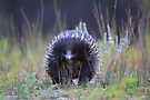 Echidna or The spiney anteater  by Donovan wilson