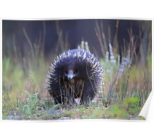 Echidna or The spiney anteater  Poster