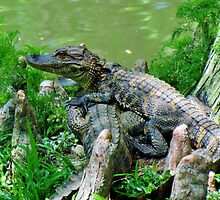 Baby Alligators by Cynthia48