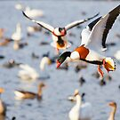 Shelducks over the lake by Jason Smalley