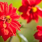 Red Dahlias by wildscape
