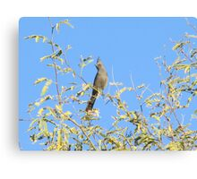 Female Phainopepla Eyeing the Morning from Her Tree Canvas Print