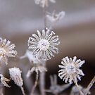 Frosted flowers by LadyFi