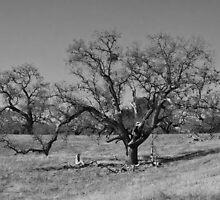 Sprawling oak tree- b&w by David Chesluk