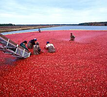 Cranberry Harvest, New Jersey by cadellin