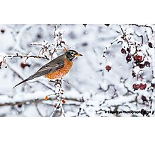 American Robin in the Snow - East Concord, NH 01-18-14 Photographic Print