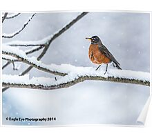 American Robin in the Snow - East Concord, NH 01-18-14 Poster