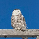 Sleepy Snowy Owl by Thomas Young