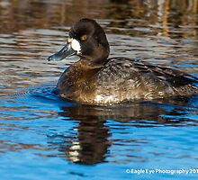 Lesser Scaup Hen - Tide Mill Creek - North Hampton, NH 01-07-14 by David Lipsy