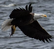 Bald Eagle's Catch of the Day by Deb Fedeler