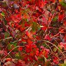 Grapevine of November in Jan... by Nira Dabush