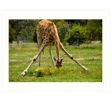 Werribee Zoo - Giraffe Art Print