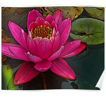 Perky Pink Water Lily Poster