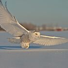 Snowy Owl In Flight by Owl-Images