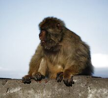 Barbary Macaque by Alexandru Stanoi