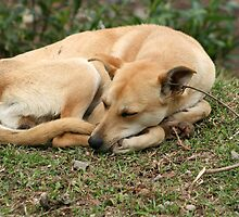 Sleeping Brown Dog by rhamm