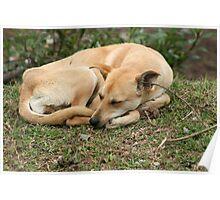 Sleeping Brown Dog Poster
