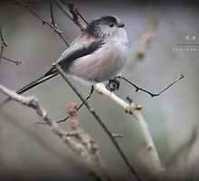 """ Resting Skywards , Long Tailed Tit  "" by Richard Couchman"