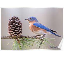 Bluebird on a Pine Branch Poster
