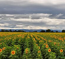 Sunflower Fields by NancyC