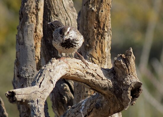 Cactus Wren~  Curiosity Catch by Kimberly Chadwick