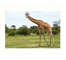 Werribee Zoo - Giraffe II Art Print