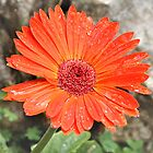 Orange flower by Marlen