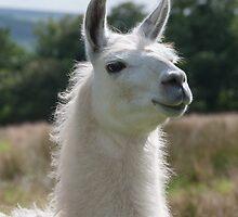 Loki the llama by elainejhillson