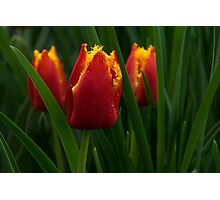Cheerfully Wet Red and Yellow Tulips Photographic Print
