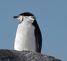 "Chinstrap Penguins ~ ""Cliff Top Power Nap"" by Robert Elliott"