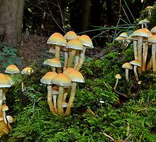 Sulphur tufts     [Hypholoma fasciculare] by relayer51