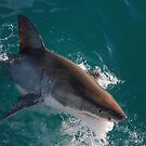 great white shark by Ty Cooper