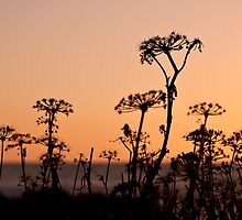 Sun Dried Flowers by Motti Golan