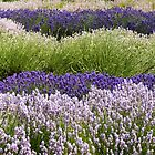 Lavender Bands  by Anne Gilbert