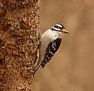 Downy Woodpecker by Sandy Keeton