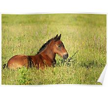 horse brown foal lying in pasture Poster