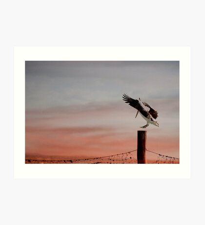 Coming in to land - pelican at Stradbroke Island Art Print